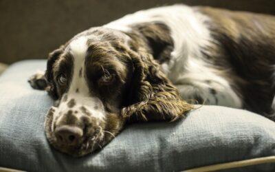 Bedste hundekurv til ældre hunde